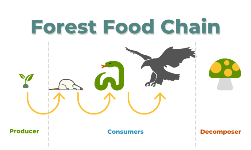 Olmstead forest food chain